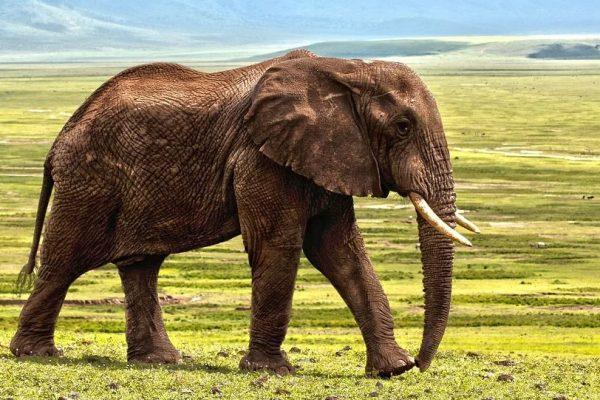 elefant på savanne