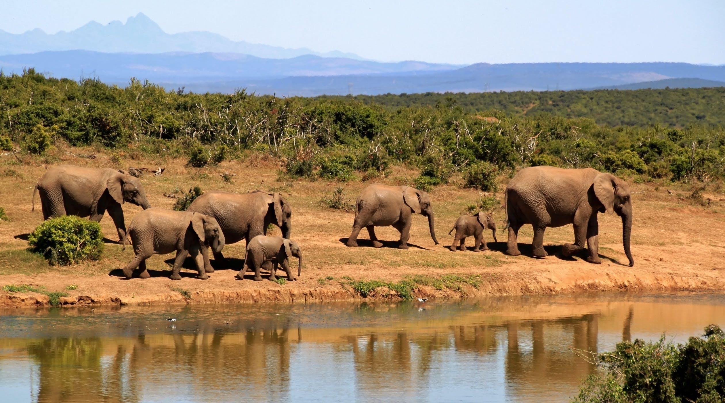elefantflok ved vandhullet