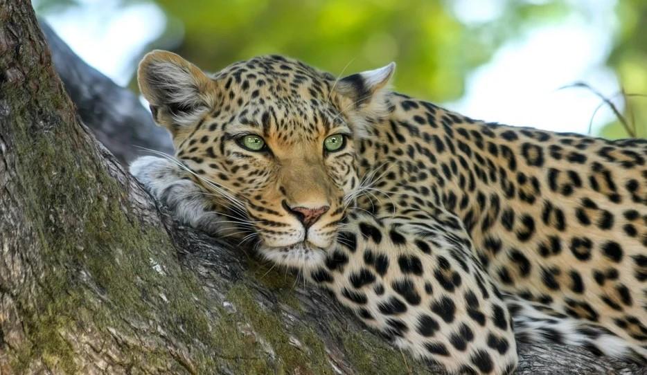 leopard i træ